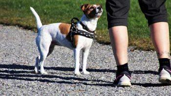 Permalink to: Koiran Adoptoiminen tai Ostaminen